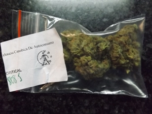 Critical Marijuana Strain from Abcda in Barcelona