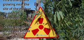Marijuana growing near Chernobyl