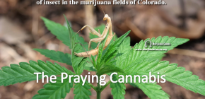 Marijuana Games Image Praying Cannabis