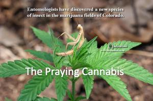 Marijuana Games Image Praying Cannabis
