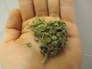 Black Jack Marijuana Strain in the hand