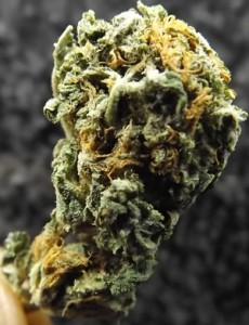 Black Water Cannabis Strain closeup no 2