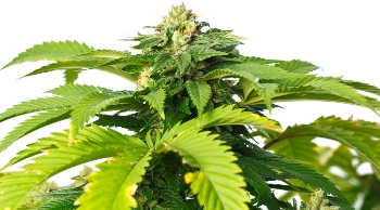 Cannabis Single Bud - Used for Medicine for Thousands of years