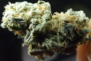 Cream Caramel Cannabis Strain Closeup