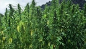 Early Man Cultivate Fields of hemp
