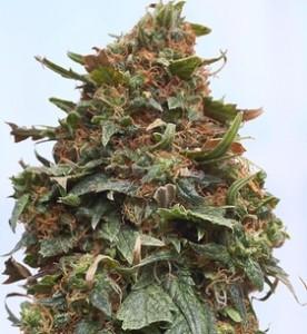 Fat Ripe Cannabis Bud