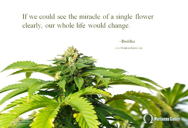 Quote about marijuana by Buddha 600x400