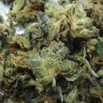 Marijuana Strain Review: MK Ultra