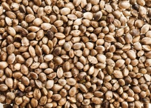 Closeup of cannabis seeds