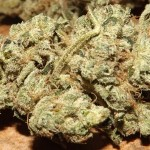 Marijuana Strain Review: Violator Kush