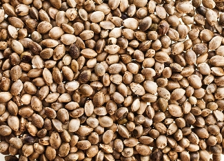 Hemp seeds can make a better livestock feed