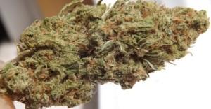 Closeup number 4 of Blue Dream marijuana strain