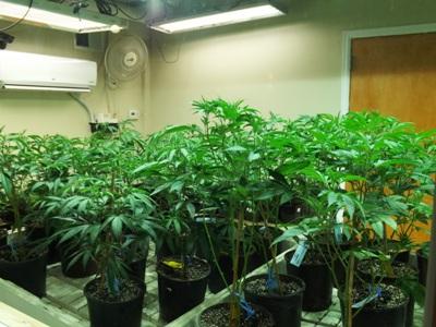 Live marijuana plants at Lodo Wellness