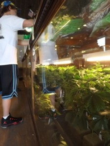 Live Plants at LaContes Dispensary in Colorado