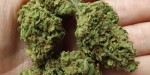 Marijuana Strain Review: Jack Herer 3