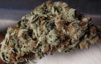 closeup no 1 Silvias blue cannabis strain
