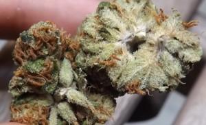Interior of Zombie Kush marijuana buds