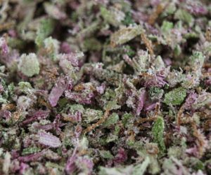 Mendocino Purple Kush as available at Circulo Cannabis Club in Barcelona Spain