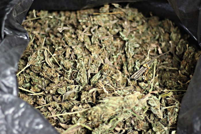 Maine hemp grown by Zak Lapan