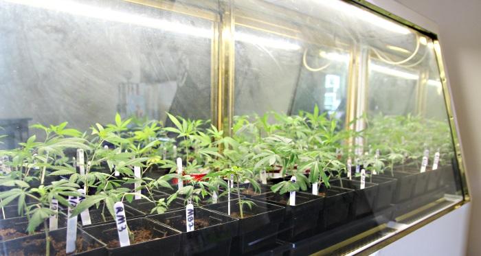 Marijuana Clones at New World Organics Maine dispensary